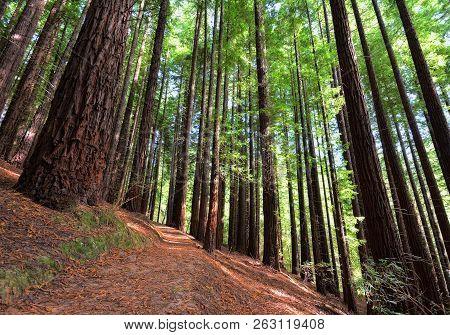 Sequoias In Cabezon De La Sal, Spain. Natural Monument Of The Sequoias Monte Cabez