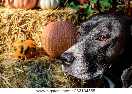 Portrait Of Autumnal Thanksgiving Or Fall Pumpkin Picking Dog Looking In Distance With Pumpkins On H
