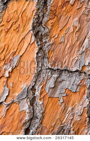 close-up view on orange pine bark, texture,background
