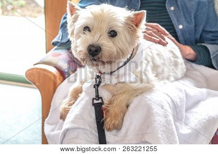 Therapy Pet Dog Visiting Retirement Care Home - Westie Is On Lap Of Elderly Senior Person With Hands