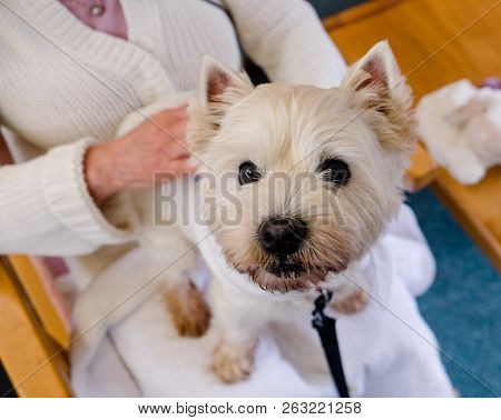 Companionship: Therapy Pet Westie Dog On Lap Of Person In Residential Care Home For Elderly People I