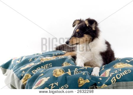 Shetland Dog'S Lying On A Blanket