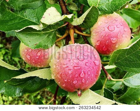 Sweet Fruit Apple Growing On Tree With Leaves Green, Natural Plant Product Hanging On Branch. Apple