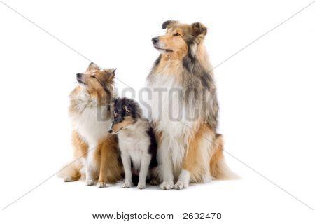 Shetland Dogs Pausing