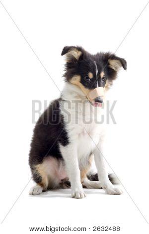 Shetland Dog'S Posing