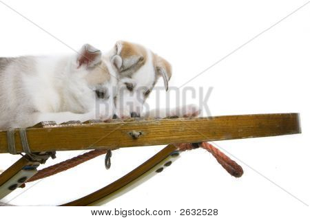 Two Adorable Huskies On A Sled