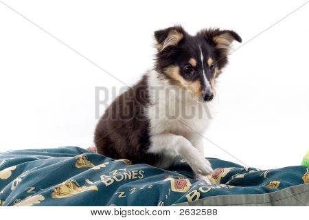 Happy Shetland Dog'S Resting On A Blanket