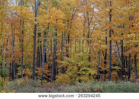 Beautiful Golden Autumn Forest In Upper Peninsula Of Michigan