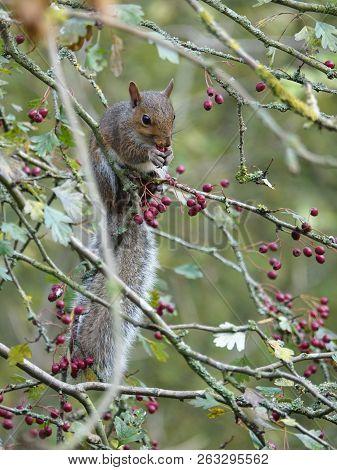 Grey Squirrel (sciurus Carolinensis) Feeding On Woodland Berries