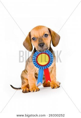 Adorable puppy of dachshund with winner ribbon