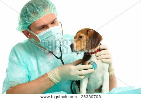Veterinarian surgeon doctor making a checkup of a beagle puppy dog poster