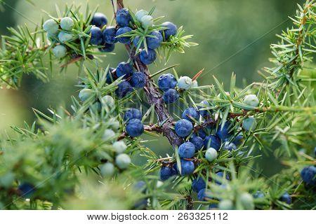 Close-Up Of Juniper Berries Growing On Tree.  Juniper branch with blue and green berries growing outside.