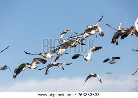 Snow Goose, Migratory Bird In Vancouver Bc Canada