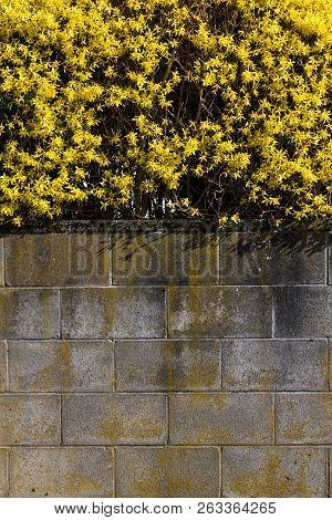Yellow Winter Jasmine ( Jasminum Nudiflorum ) For Background