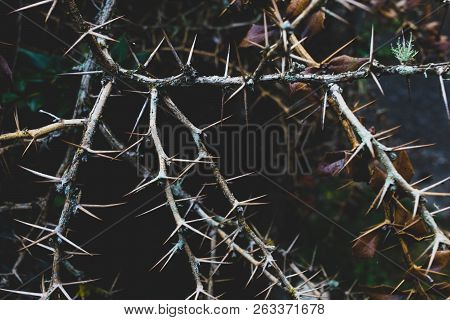 Bunch Of Brown Dry Thorny Branches Twisted Together