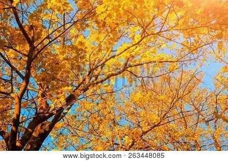 Autumn trees - orange autumn trees tops against blue sky. Autumn nature view of autumn trees in sunny autumn day