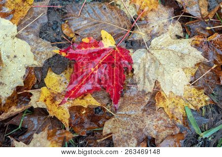 Autumn Red, Yellow, Brown Leaves Fallen On The Ground, Closeup