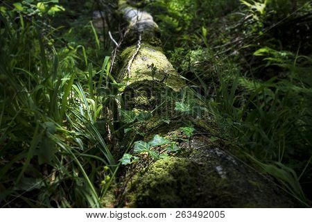 A Closeup Image Of Dappled Light In Woodland, With Moss And Ivy Growing On A Fallen Tree