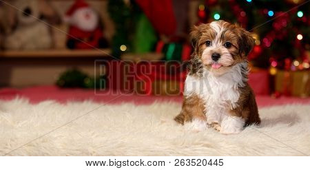 Happy Bichon Havanese Puppy Dog Is Sitting In Front Of A Christmas Background - Banner