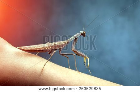 Insect hunter attacks at sunset. Mantis is a terrible monster of wildlife. Mantis in attack. poster