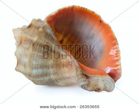 cockleshell of the Black Sea  -Rapana venosa (thomassiana)