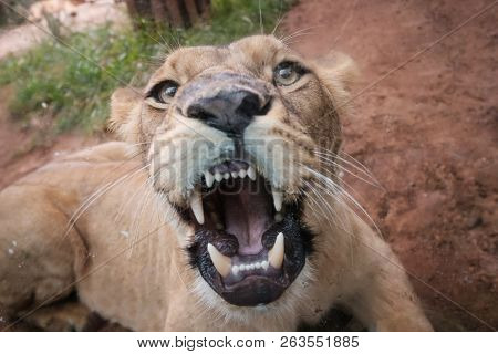 Female Lion Showing Teeth , Looking At Camera  -