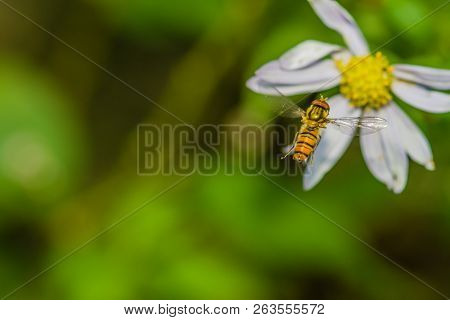 Closeup Of Small Hover Fly In Midair Flying Toward White And Yellow Daisy With Blurred Green Backgro
