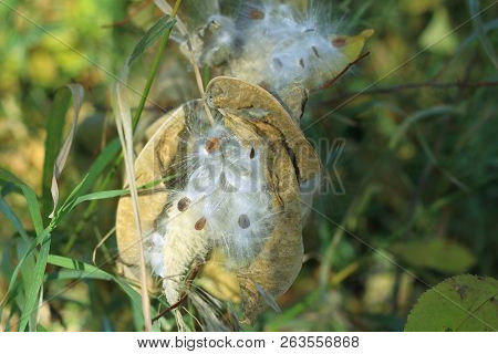 A Milk Weed Plant With The Pod Open Showing The Seeds.