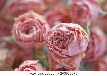Dry Buds Of Small Pink Roses Flowers With Green Sepals