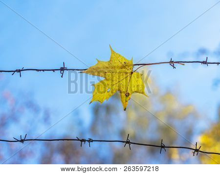 Yellow Leaf Of A Maple Caught On A Barbed Wire, Close-up. The Background Is Blurred. The Concept Of
