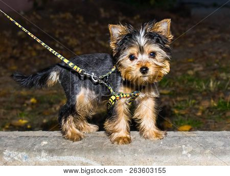 Little Yorkshire Terrier Puppy For A Walk On The Street. The Puppy On The Leash. Dog Walking.