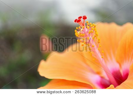 Close Up Pollen Of Orange Hibiscus Rosa Sinensis