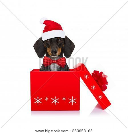 Christmas Santa Claus Dachshund Sausage Dog As A Holiday Season Surprise Out Of A Gift Or Present Bo