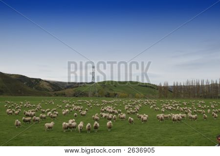 Sheep Farm - New Zealand