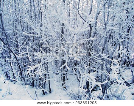 Winter Forest Landscape In Cloudy Frosty Weather. Trees Covered With Thick Layer Of Snow. Winter Fai