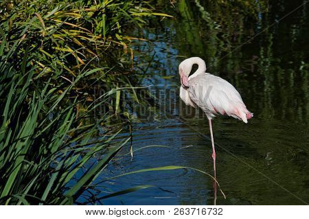 Full Body Of Rosy Colored Flamingo Waterbird Wading In The River. Photography Of Nature And Wildlife