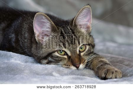 Small Mongrel Striped Kitten Is Lying On A Gray Rug, Sleepy, Calm, Looking Straight Into The Camera,