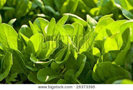 Spinach in the garden