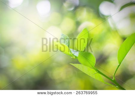 Closeup Nature View Of Green Tea Lime Leaves At Plantation In Garden On Blurred Greenery Background