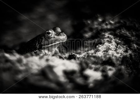 Introspective frog appears to be in deep thought. Gritty black and white style with shallow focus. Introverted concept with copy space. poster