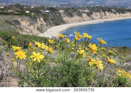 California Nature - Pacific Coast View In Malibu. Point Dume State Beach With Giant Coreopsis (giant