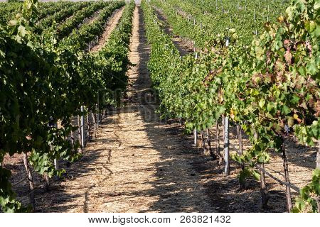 Rows of grape vines in autumn at a winery
