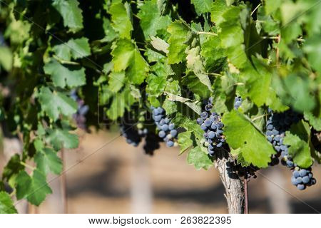 Grape Vines with unharvested grapes