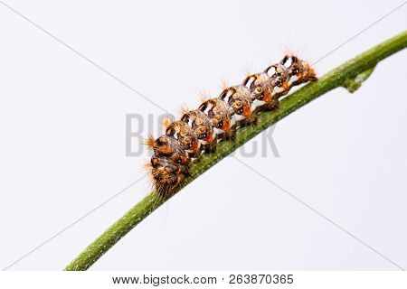 Big Colorful Caterpillar With White And Orange Color Perched On Green Stem