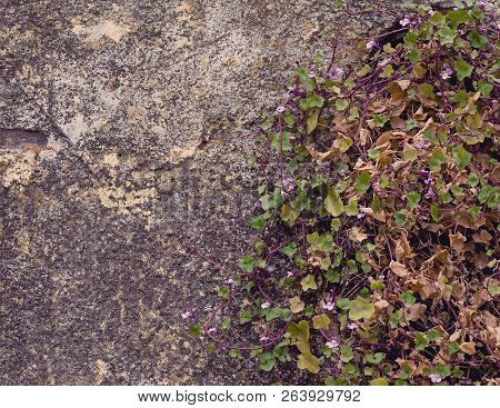 Rustic Stone Wall Covered Partially With Flowers And Vines Growing