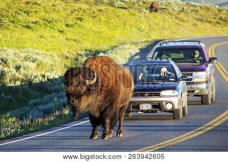 Yellowstone National Park, Usa - July 19: Bison Blocking Road On July 19, 2005 In Yellowstone Nation