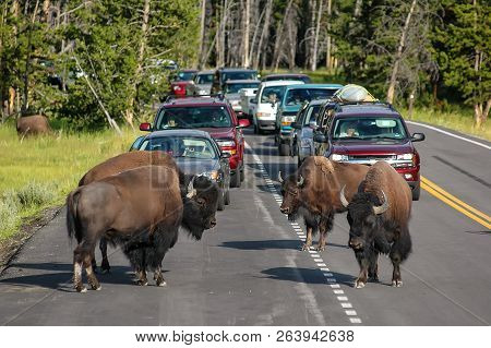 Yellowstone National Park, Usa - July 21: Herd Of Bison Blocking Road On July 21, 2005 In Yellowston