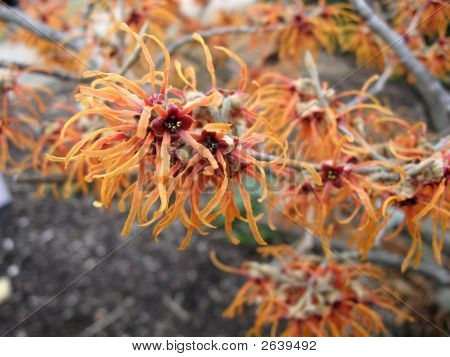 Orange Witch Hazel - Hamamelis X Intermedia 'Jelena'