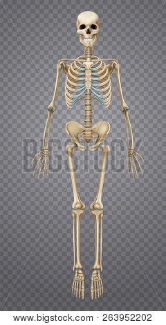 Realistic Human Skeleton Isolated On Transparent Background 3d Vector Illustration