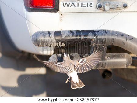 White Browed Weaver (plocepasser Mahali) Drinking Water From A Tap, Botswana